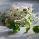 Mieszanka kiełków lucerny, soczewicy, rzodkiewki, pszenicy
